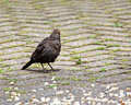 Beautiful blackbird feasting photo of a british common in garden eating bread crumbs Stock Image