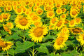 Beautiful bloming field of sunflower background Royalty Free Stock Photo
