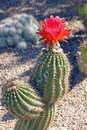 Beautiful bloom of the hedgehog cactus large orange and pink on in desert in springtime Royalty Free Stock Photography