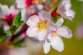 Beautiful blooming almond tree with white pink flowers Royalty Free Stock Photo