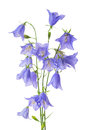 Beautiful blooming bouquet blue bell flower isolated on white ba Royalty Free Stock Photo