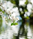 Beautiful blooming branch over the water closeup Royalty Free Stock Photo