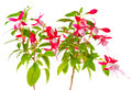 Beautiful blooming branch of red and white fuchsia flower is isolated on background, `Shadow Dancer Betty` Royalty Free Stock Photo