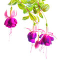 Beautiful blooming branch of violet fuchsia flower is isolated o Royalty Free Stock Photo
