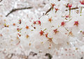 Beautiful Blooming Branch of White Sakura Flowers or Cherry Blossom Flowers Blooming on The Tree in Japan, Natural Background Royalty Free Stock Photo