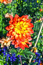 beautiful blooming dahlia Royalty Free Stock Photo