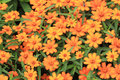 Beautiful blooming flowers orange color Stock Images