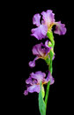 Blooming iris on a black background closeup Royalty Free Stock Photo