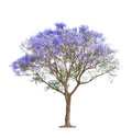 Beautiful blooming Jacaranda tree Royalty Free Stock Photo