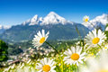Landscape in the Alps with fresh green meadows and blooming flowers and snowcapped mountain tops in the background