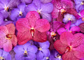 Beautiful blooming orchid group of Stock Image