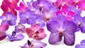 Beautiful blooming orchid isolated on white background Stock Images