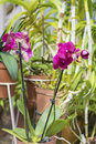 Beautiful blooming purple  orchid flowers in hothouse Royalty Free Stock Photo