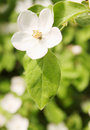 Beautiful blooming quince bush garden Stock Images