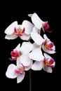 Beautiful Blooming White Orchi...
