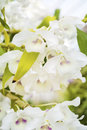 Beautiful blooming white orchid flowers in hothouse Royalty Free Stock Photo