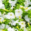 beautiful blooming white petunia flowers background, Royalty Free Stock Photo