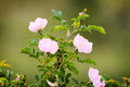 Beautiful blooming wild rose bush Stock Image
