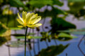 A beautiful blooming yellow lotus wildflower water lily pad flower growing wild in texas nelumbo lutea american peace and Stock Photography