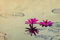 Beautiful blossom lotus flower in thailand pond reflect on water vintage postcard effect Stock Photos