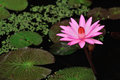 Beautiful blossom pink lotus flower Royalty Free Stock Images