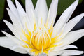Beautiful blossom white lily with yellow pollen Stock Images