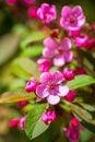 Beautiful Blossoming Cherry Tree