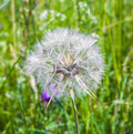 Beautiful blowball flower at the meadow Stock Image