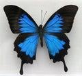 A Beautiful Blue Butterfly