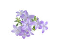 Beautiful  blue campanula is isolated on white background Royalty Free Stock Photo