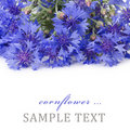 Beautiful blue cornflower Stock Photography