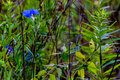 A beautiful blue erect dayflower commelina erecta wildflower growing wild in the wild texas prairie Stock Image