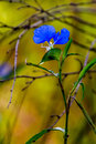 A beautiful blue erect dayflower commelina erecta wildflower growing wild in the wild texas prairie stunning golden background Stock Photos