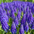 Beautiful blue flowers in amsterdam netherlands spring is the time when bloom Royalty Free Stock Photos