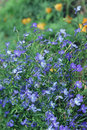 Beautiful blue flowers of climbing Lobelia plant close up Royalty Free Stock Photo