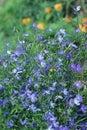 Beautiful blue flowers of climbing Lobelia plant close up Royalty Free Stock Photo