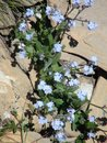 Beautiful blue flowers in the french alps mountain. Royalty Free Stock Photo