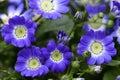 Beautiful Blue Flowers Of Peri...