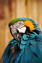 Beautiful Blue and Gold Macaw - Parrot Portrait 5 Royalty Free Stock Photo