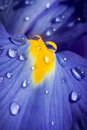 Beautiful blue iris with drops closeup shot Royalty Free Stock Photo