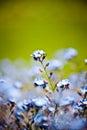 Beautiful blue little flowers