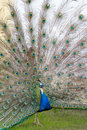 Beautiful blue peacock Stock Photo