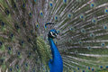 Beautiful blue peacock big bird Royalty Free Stock Image