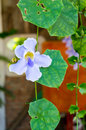 Beautiful blue purple soft nice flower of laurel clock vine blue trumpet vine thunbergia laurifolia cold herbs in thailand and t Royalty Free Stock Images