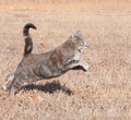 Beautiful blue tabby cat leaping while running Royalty Free Stock Photography
