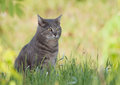 Beautiful blue tabby cat sitting in spring grass a shade Royalty Free Stock Photography