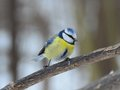 Beautiful blue tit male watching photographer parus caeruleus waits for its turn to a birdfeeder in a suburban forest Royalty Free Stock Images