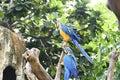 Beautiful Blue-and-yellow macaw Ara ararauna Royalty Free Stock Photo