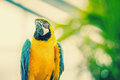 Beautiful blue and yellow macaw parrot in natural enviroment Royalty Free Stock Photos