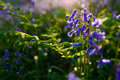 Beautiful bluebells in spring forest, natural background Royalty Free Stock Photo